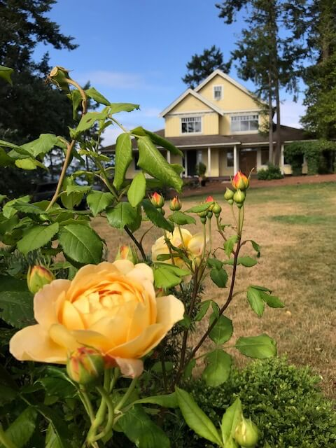 Roses in garden at Quarrystone House grounds