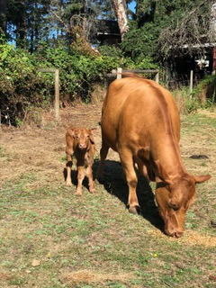 Rosie the Quarrystone House cow with calf Bourbon
